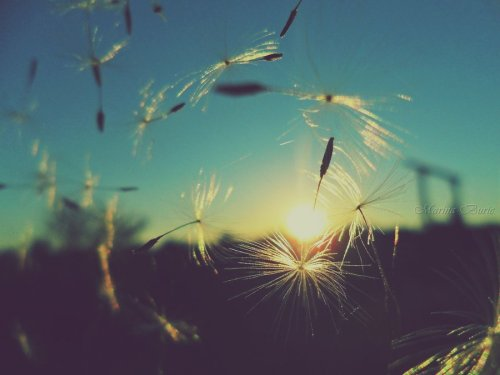 dandelion_sunset_by_lady_deliah-d4bltds
